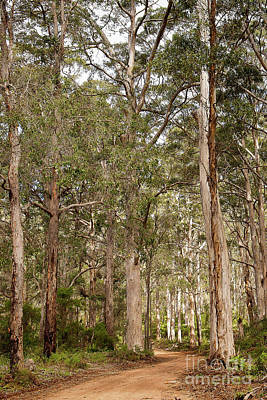 Poster featuring the photograph Boranup Drive Karri Trees by Ivy Ho