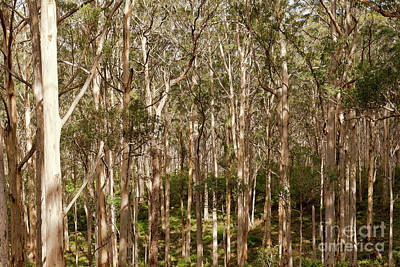 Poster featuring the photograph Boranup Forest  by Ivy Ho