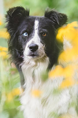 Border Collie Dog Portrait Poster by Debi Bishop