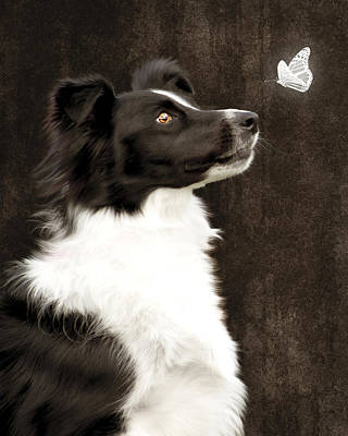 Poster featuring the photograph Border Collie Dog Watching Butterfly by Ethiriel  Photography