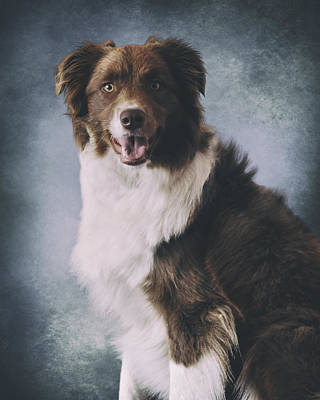 Border Collie Portrait Poster by Wolf Shadow  Photography