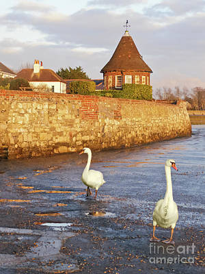 Bosham Swans Out For A Stroll Poster