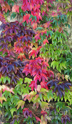 Boston Ivy In The Fall Poster
