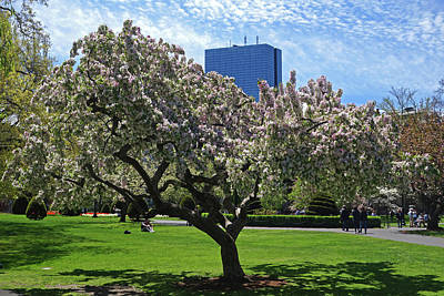 Boston Public Garden Spring Tree Boston Ma Poster