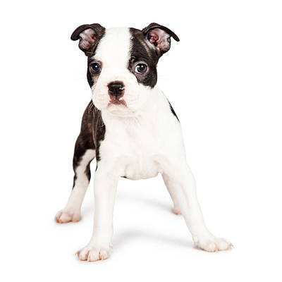 Boston Terrier Puppy Looking At The Camera Poster by Susan Schmitz