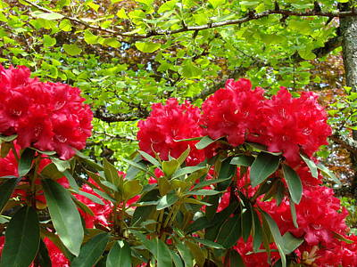 Botanical Garden Art Prints Red Rhodies Trees Baslee Troutman Poster by Baslee Troutman