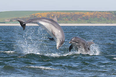Poster featuring the photograph Bottlenose Dolphin - Moray Firth Scotland #49 by Karen Van Der Zijden