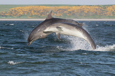 Poster featuring the photograph Bottlenose Dolphins - Moray Firth Scotland #47 by Karen Van Der Zijden