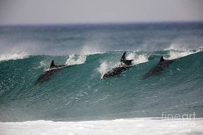 Bottlenose Dolphins Surfing Poster by Luc Hosten UIG