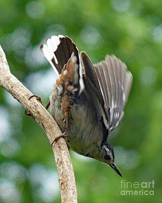 Bottoms Up - White-breasted Nuthatch Poster by Cindy Treger