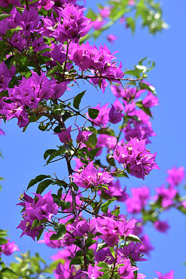 Bougainvillea And Sky Poster