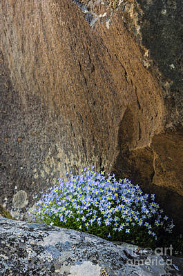 Boulders And Bluets - D008992 Poster by Daniel Dempster