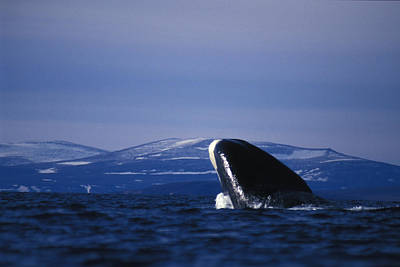 Bowhead Whale Balaena Mysticetus Poster by Nick Norman