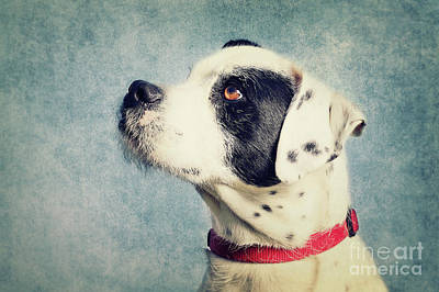 Boxer-schnautzer-mix Poster by Angela Doelling AD DESIGN Photo and PhotoArt
