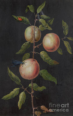 Branch Of A Pear Tree Poster