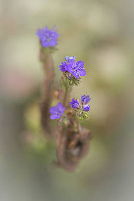 Poster featuring the photograph Branching Phacelia by Alexander Kunz