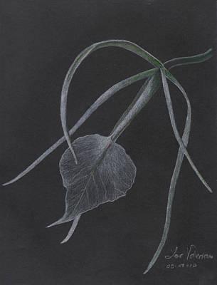 Brassalove Nordosa Orchid Poster