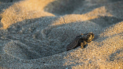 Brave Beginnings Sea Turtle Hatchling Delray Beach Florida Poster