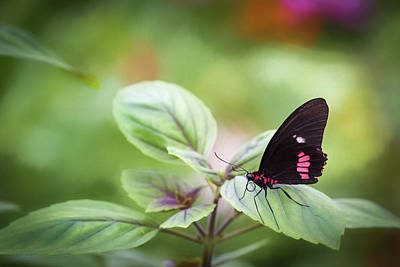 Poster featuring the photograph Brave Butterfly  by Cindy Lark Hartman
