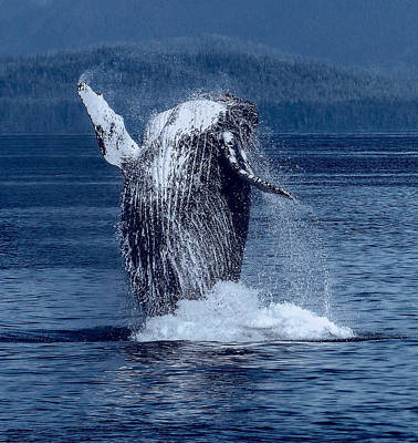 Breaching Humpback Whale Poster by Daniel Hagerman