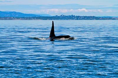 Breaching Male Orca Poster by Dan Sproul