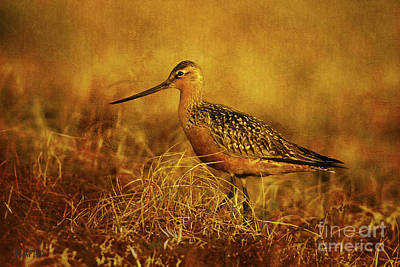 Breeding Dowitcher Poster