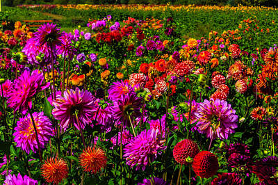 Bright Colorful Dahlias Poster by Garry Gay