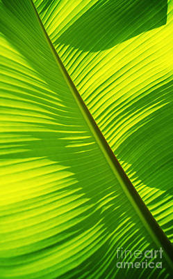 Bright Green Banana Leaf Poster by Carl Shaneff - Printscapes