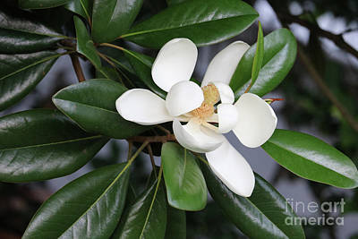 Bright Magnolia With Leaves Poster by Carol Groenen