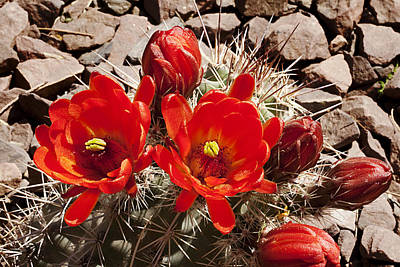 Poster featuring the photograph Bright Orange Cactus Blossoms by Phyllis Denton