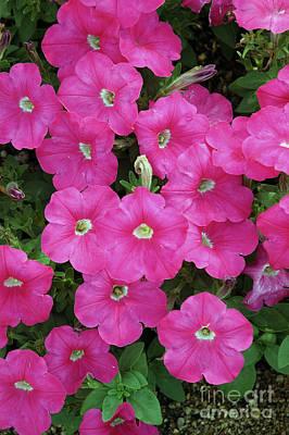 Bright Pink Hollihocks Poster