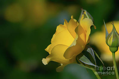 Bright Yellow Walking On Sunshine Rose Poster