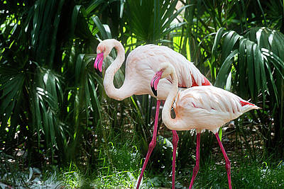 Brightly Colored Flamingo Duo Glide Through Tropical Foliage Poster