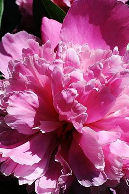 Poster featuring the photograph Brillant Pink Peony by Bruce Bley