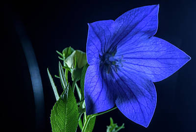 Brilliant Blue Balloon Flower Poster