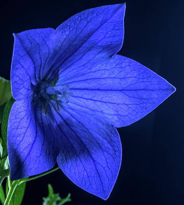 Brilliant Deep Blue Balloon Flower Poster