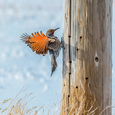 Brilliant Northern Flicker Woodpecker Poster