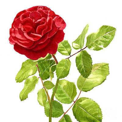 Brilliant Red Rose On A Stem Square Design Poster by Sharon Freeman