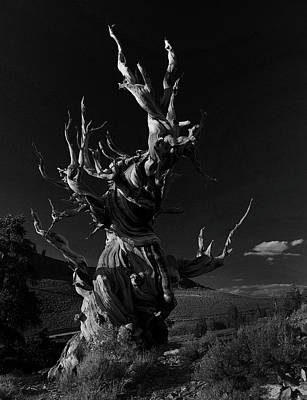 Poster featuring the photograph Bristlecone Pine by Art Shimamura