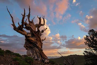 Bristlecone Pine Sunset Poster