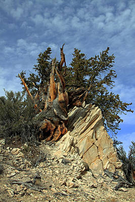 Bristlecone Pine Tree Poster by David Salter