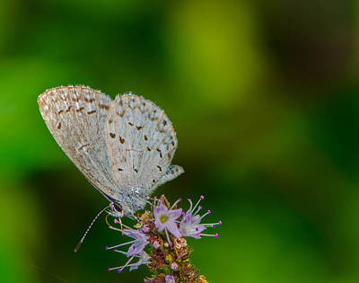 British Butterfly Or Little Blue Poster