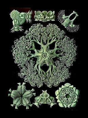 Brittle Star In Bright Green Poster by Diane Addis