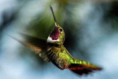 Broad-tailed Hummingbird In Flight Poster by Marilyn Burton