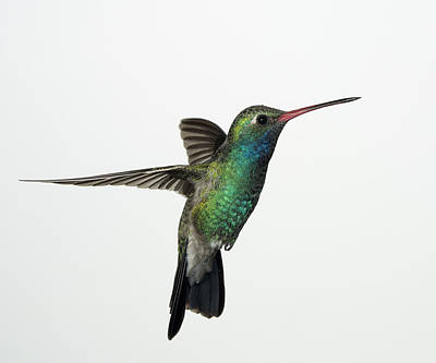 Broadbill Hummingbird In Flight Poster