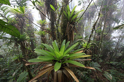 Bromeliad Bromeliaceae And Tree Fern Poster