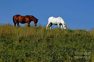 Brown And White Horse Grazing Together In A Grassy Field Poster