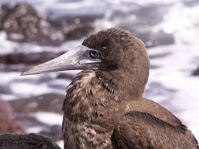 Brown Booby Poster by Alan Kincade