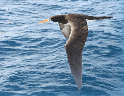 Brown Booby Poster