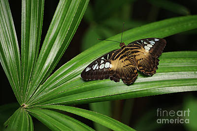 Brown Clipper Butterfly -parthenos Sylvia- On Frond Poster